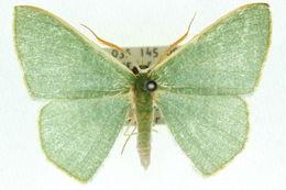 Image of <i>Prasinocyma albicosta</i> Walker 1861
