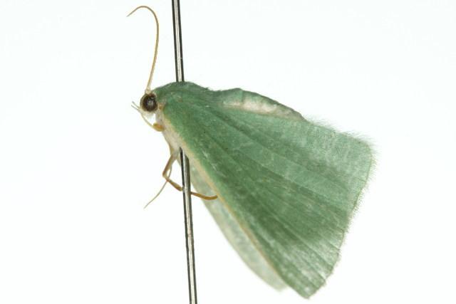 Image of <i>Prasinocyma flavicosta</i> Warren 1897