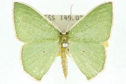 Image of <i>Oenospila flavifusata</i> Walker 1861