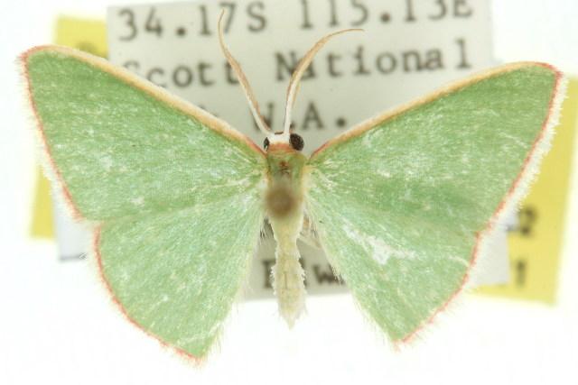 Image of <i>Chlorocoma rhodocrossa</i> Turner 1906