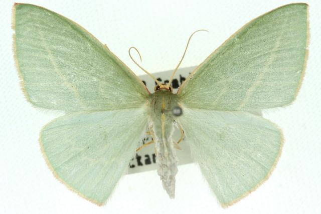 Image of <i>Chlorocoma carenaria</i> Guenée 1857