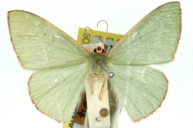 Image of <i>Chlorocoma vertumnaria</i> Guenée 1857