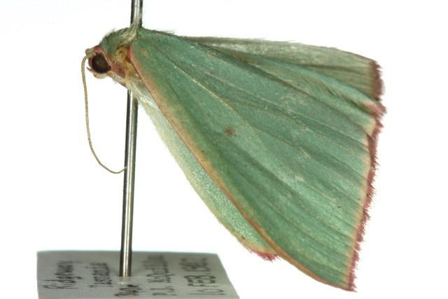 Image of <i>Chlorocoma externa</i> Walker 1816