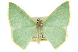 Image of <i>Chlorocoma melocrossa</i> Meyrick 1888