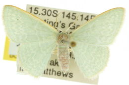 Image of <i>Cymatoplex halcyone</i> Meyrick 1889