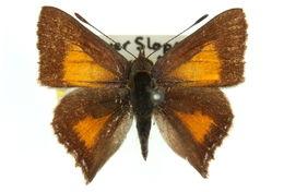 Image of <i>Paralucia aurifer</i> (Blanchard 1848)