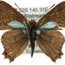 Image of <i>Pseudodipsas cephenes</i> Hewitson 1874