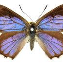 Image of <i>Hypochrysops ignita</i> (Leach 1814)