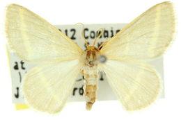 Image of <i>Mixocera latilineata</i> Walker 1866