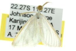 Image of <i>Leucesthes alba</i> Swinhoe 1902