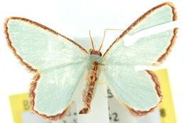 Image of <i>Pyrrhorachis pyrrhogona</i> Walker 1866
