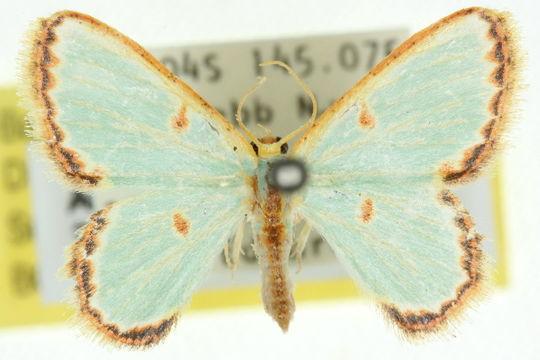Image of <i>Pyrrhorachis</i>
