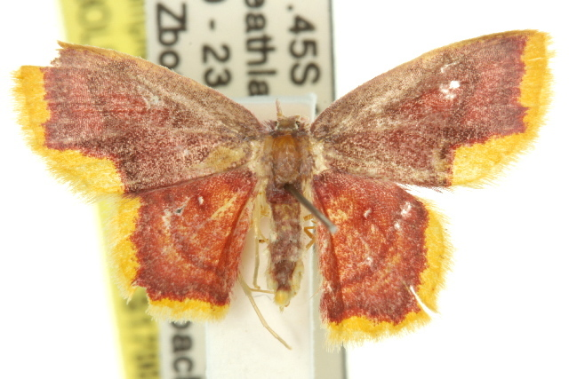 Image of <i>Chrysocraspeda</i>
