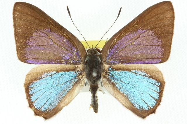 Image of <i>Philiris fulgens</i> (Grose-Smith & Kirby 1897)