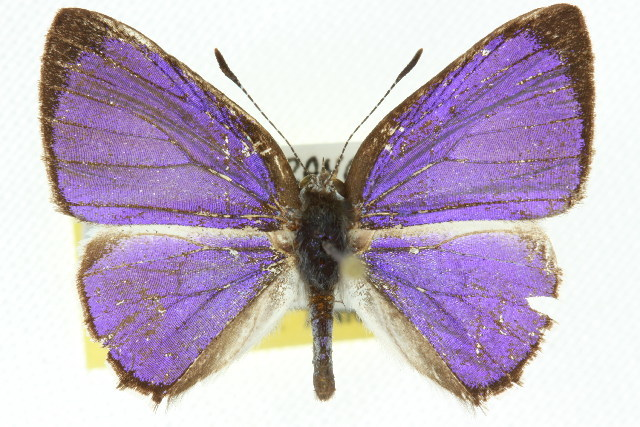 Image of <i>Philiris ziska</i> (Grose-Smith 1898)