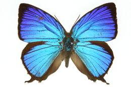 Image of <i>Arhopala micale</i>