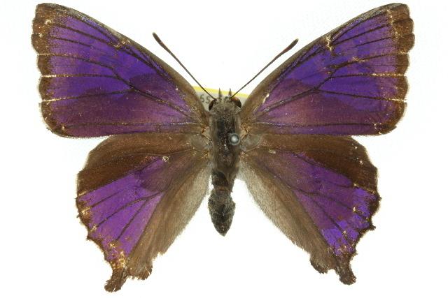 Image of <i>Ogyris zosine</i> Hewitson 1853