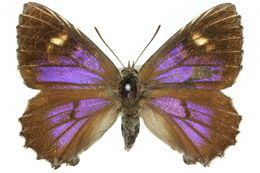 Image of <i>Ogyris otanes</i> Felder 1865