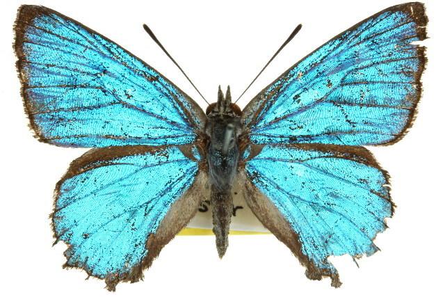 Image of satin azure