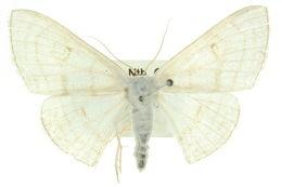 Image of <i>Problepsis clemens</i> Lucas 1890