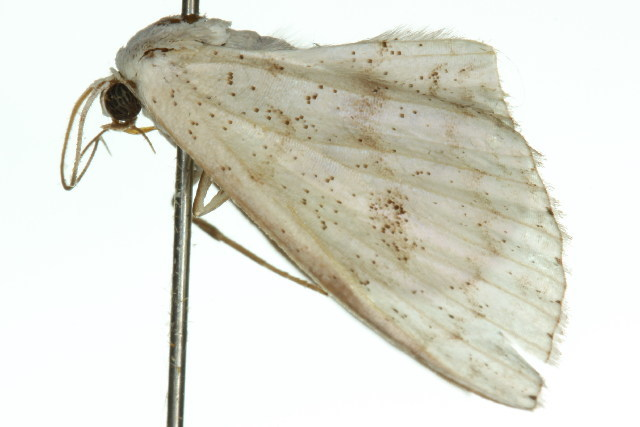 Image of <i>Problepsis craspediata</i> Warren 1903