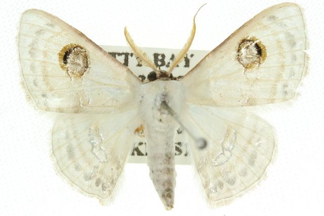 Image of <i>Problepsis apollinaria</i> Guenée 1858