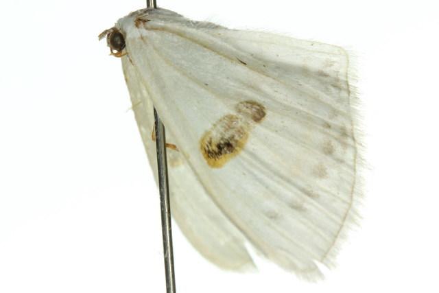Image of <i>Problepsis sancta</i> Meyrick 1888