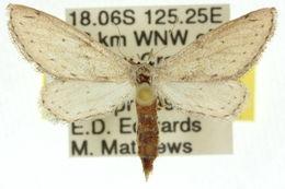 Image of <i>Zygophyxia relictata</i> Walker 1866