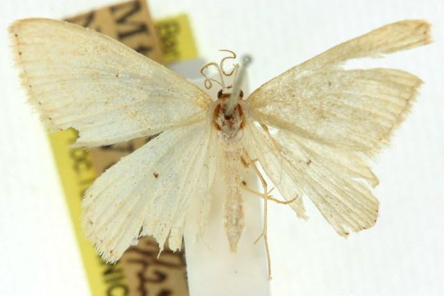 Image of <i>Idaea euclasta</i> Turner 1922