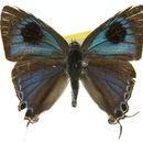 Image of <i>Hypolycaena phorbas</i> (Fabricius 1793)