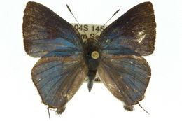 Image of <i>Rapala varuna</i> (Horsfield 1829)