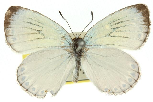 Image of <i>Nesolycaena urumelia</i>