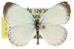 Image of <i>Nesolycaena caesia</i> D' Apice & Miller 1992