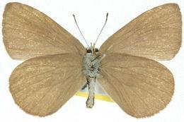 Image of <i>Nesolycaena albosericea</i> (Miskin 1891)