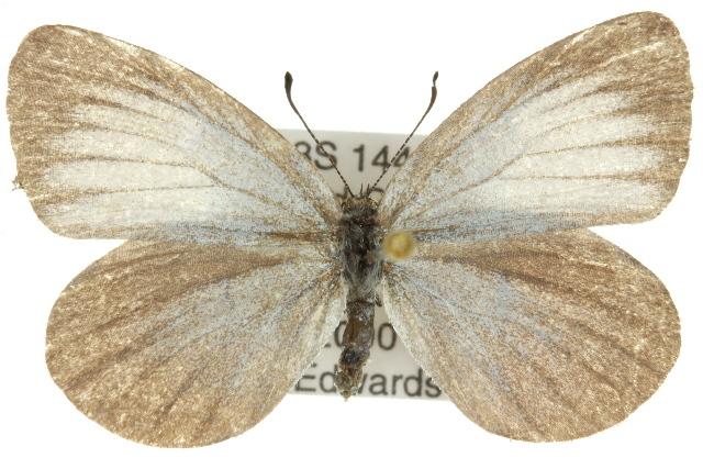Image of <i>Nesolycaena medica</i>