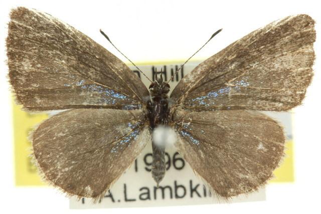Image of <i>Petrelaea dana ios</i>