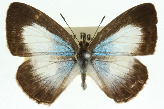 Image of <i>Nacaduba kurava</i> (Moore 1857)