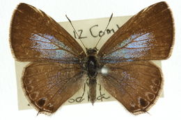 Image of <i>Prosotas felderi</i> (Murray 1874)