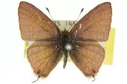 Image of <i>Ionolyce helicon</i> (Felder 1860)