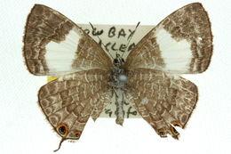 Image of <i>Erysichton lineata</i> (Murray 1874)