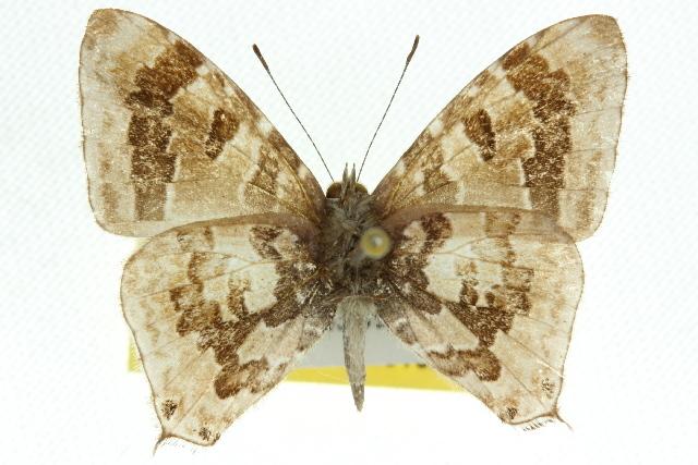Image of <i>Erysichton palmyra</i> (Felder 1860)