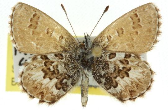 Image of <i>Neolucia hobartensis</i>