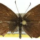 Image of <i>Neolucia mathewi</i>