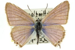 Image of <i>Theclinesthes miskini</i> (Lucas 1889)