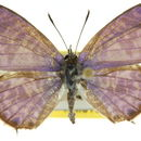 Image of Leptotes