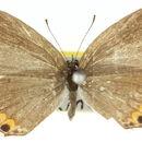 Image of <i>Everes lacturnus</i>