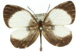 Image of <i>Pithecops dionisius</i>