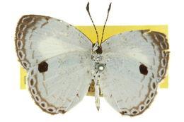 Image of <i>Neopithecops lucifer</i>
