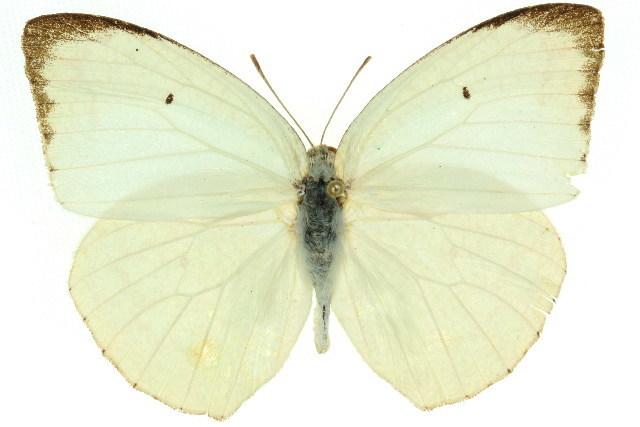 Image of <i>Catopsilia pyranthe</i> (Linnaeus 1758)