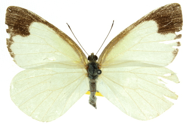 Image of <i>Elodina padusa</i> (Hewitson 1853)